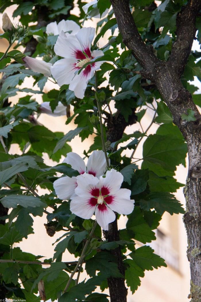 Hibiscus along the streets in Monforte de Lemos