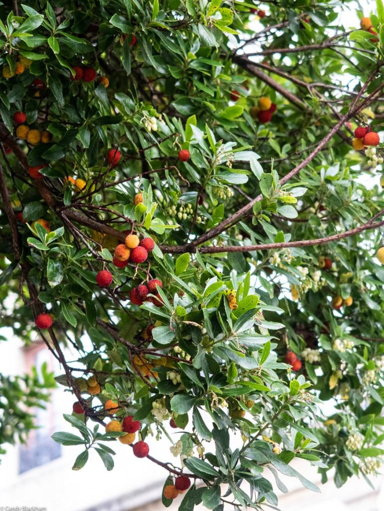 Strawberry Tree in Ribadeo