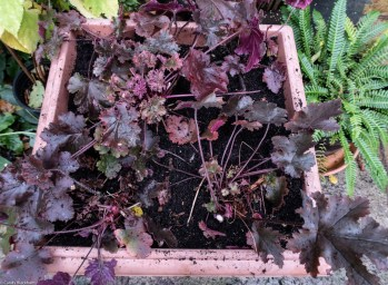Repotted heucheras