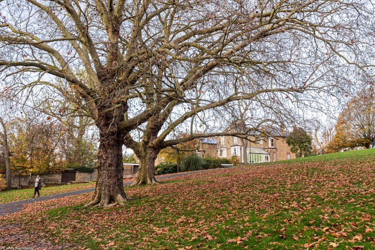 Plane trees in Telegraph Hill Park in Lewisham