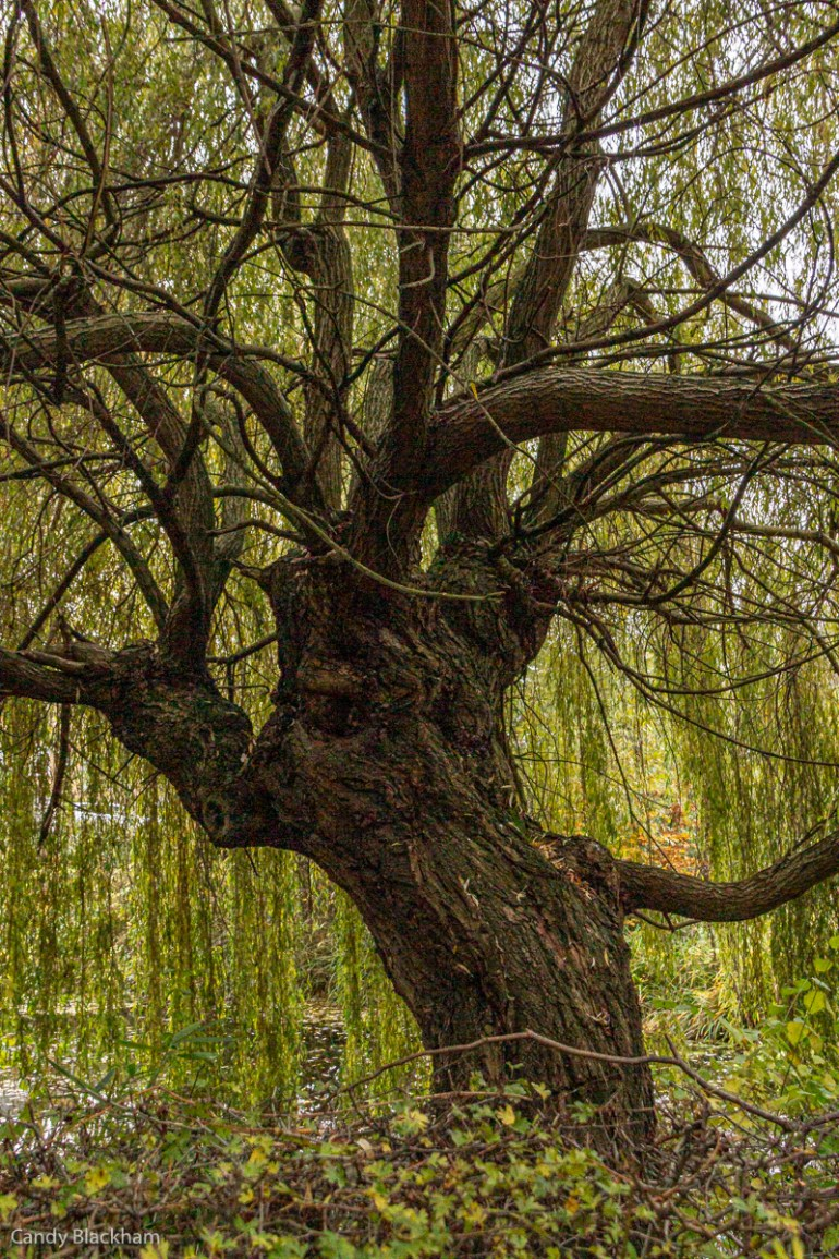 Willow tree in Telegraph Hill Park