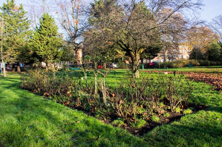 Rose bed in Lewisham Park