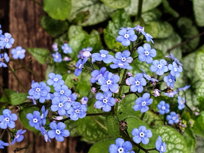 Brunnera 'Jack Frost' in the City Garden in mid-March