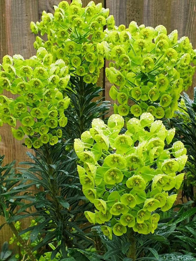 Euphorbia Lambrook Gold