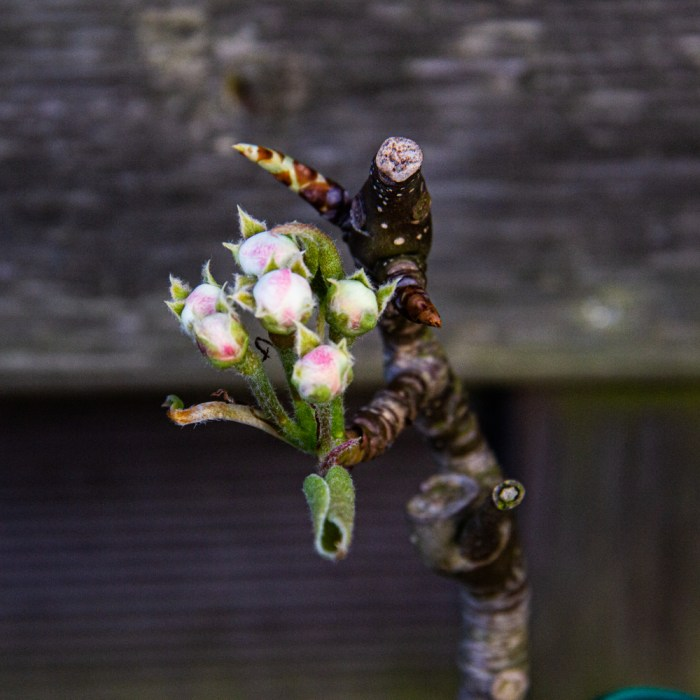 Conference Pear buds in Six on Saturday