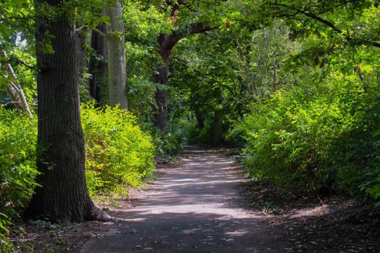 Avenue of oak trees in Downham Woodland Walk