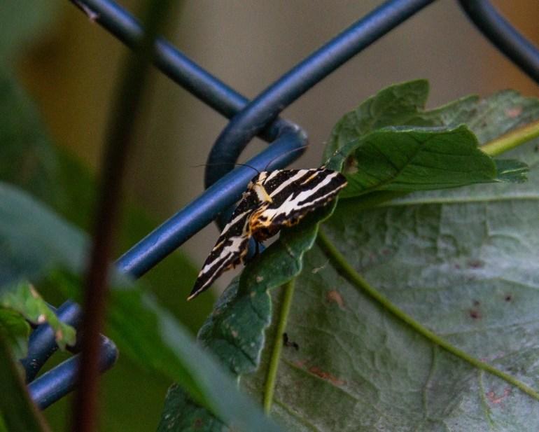 Jersey Tiger Moth in Baxter's Fields in Sydenham