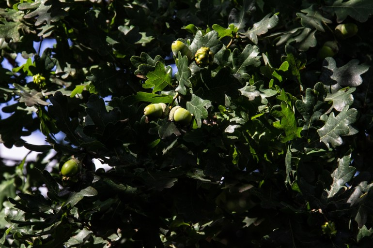 Oak trees in Baxter Field in Sydenham