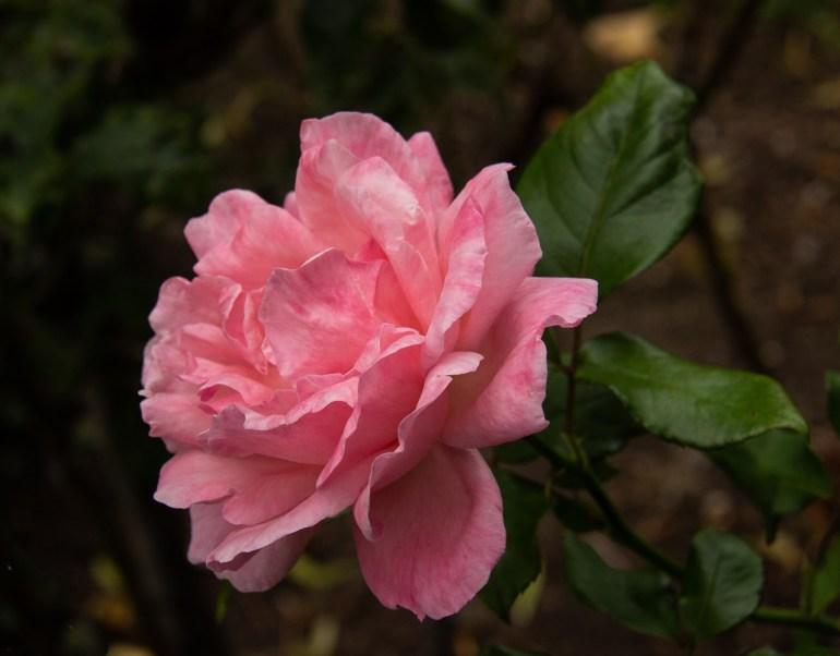 Single rose in the War Memorial Park