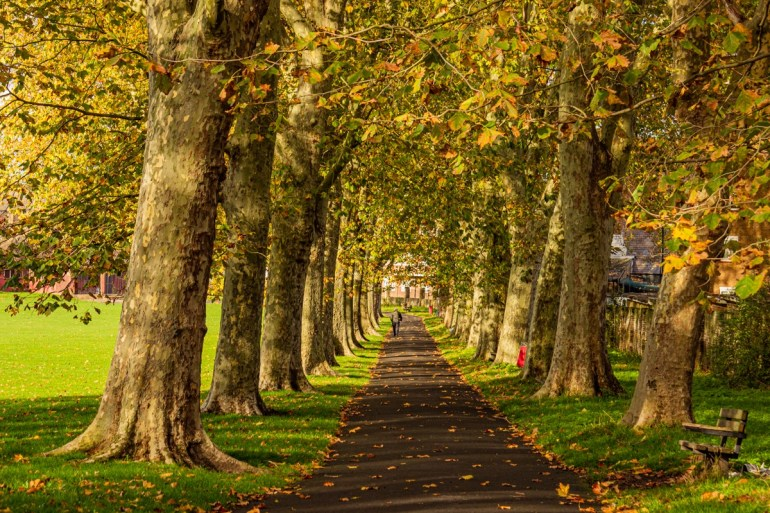 Avenue of Plane Trees in Home Park in Sydenham