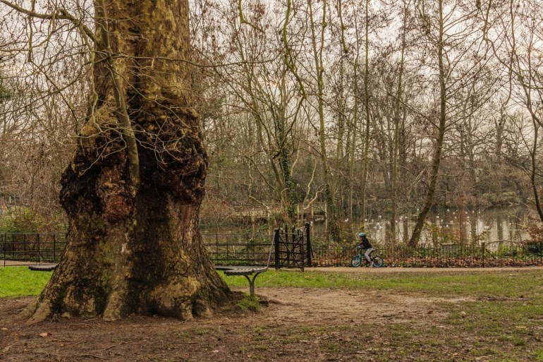 Mature London plane tree overlooking the lake