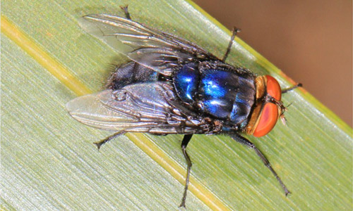 Hasil gambar untuk Cochliomyia Hominivorax