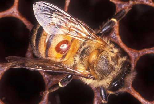 Varroa Mite