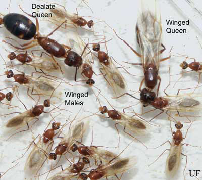 Worker And Male Reproductives Of The Tortugas Carpenter Ant Camponatus Tortuganus Emery