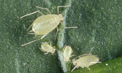 Female adult green peach aphids, Myzus persicae (Sulzer), with immatures.