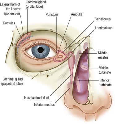 Eyelid Anatomy And Function Ento Key