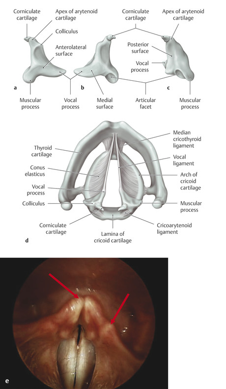 Arytenoid and corniculate cartilages. (a) Right lateral view. (b) Left lateral (medial) view. (c) Posterior view. (d) Superior view. (e) Corniculate and cuneiform cartilages. Endoscopic view of the la