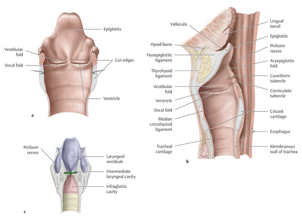 Laryngeal connective tissue and spaces. (a) Posterior view with pharynx and esophagus cut along the midline and spread open. (b) Left lateral view of the midsagittal section. (c) Posterior view with t