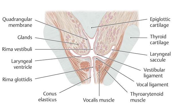Vocal folds, glottis, and ventricular (vestibular or false) folds.