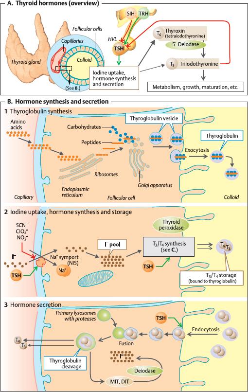 7 1 Physiology Of The Thyroid Gland Ento Key