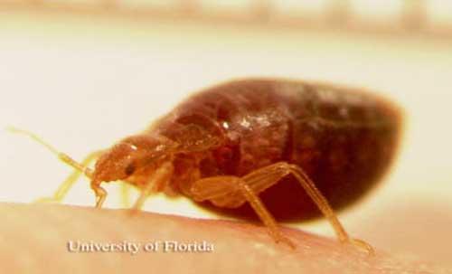 Adult bed bug, Cimex lectularius Linnaeus, feeding.