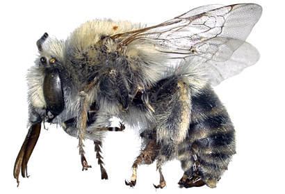 New Bee Species Bores into Sandstone
