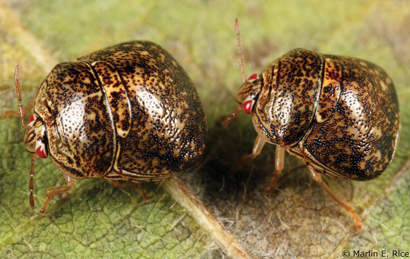 Free Online Resource for Soybean Growers to Manage Kudzu Bugs