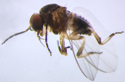 New Species of Black Fly Discovered in Thailand