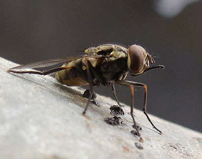 After 13 Years and 1.7 Million Flies Caught, a Model for Predicting Stable Fly Populations