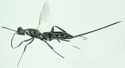 Callimomoides monochaphagae female
