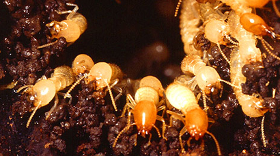 A Termite Control Twofer How Baiting One Colony Of Formosan Subterranean Termites Can Knock Out The Colony Next Door