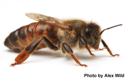 Genetically-Modified Honey Bees: A Key Technology for Honey Bee Research