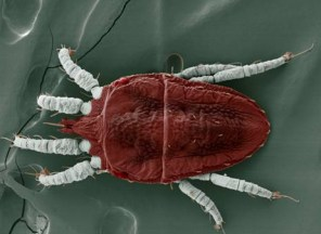 Brevipalpus. Photo by the USDA ARS, Electron & Confocal Microscopy Unit, Beltsville, MD by Dr. Gary Bauchan.