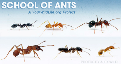 Pictures of ants in florida