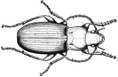 Two New Species of Carabid Beetles Found in Ethiopia
