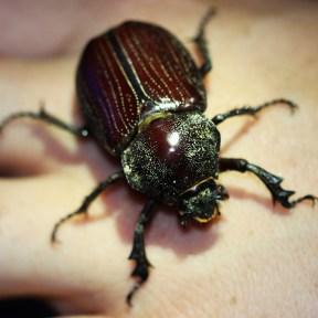A large scarab beetle.