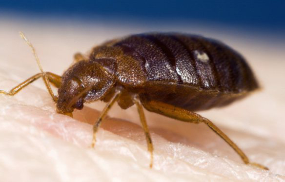 Bed Bugs Can Transmit Parasite That Causes Chagas Disease