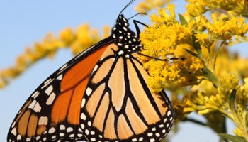 What is not good about butterflies