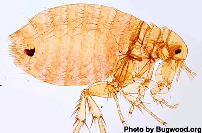 Fleas That Could Potentially Carry Plague Found On New York City Rats