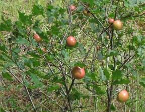 Oak apple gall. Photo by Jim Conrad.