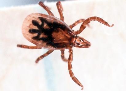 Deer tick (Ixodes scapularis)