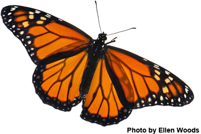 Lack of Milkweed Is Not Harming Monarch Butterfly Populations