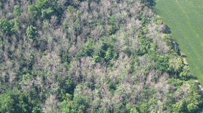 Ash forest affected by emerald ash borer