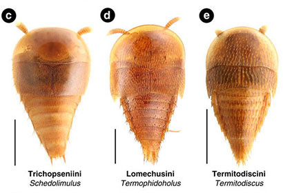 Modern rove beetles in the Aleocharinae subfamil