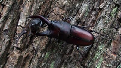 Prosopocoilus inclinatus