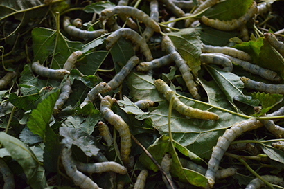 Silkworm: The Underappreciated Life Science Model Organism
