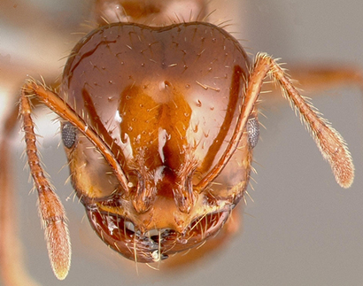 red imported fire ant headshot
