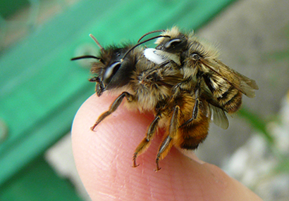exit strategy how pupating red mason bees deal with misorientation