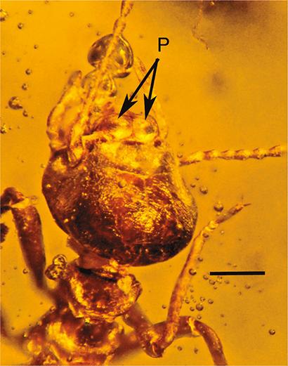 termite in amber with milkweed pollen