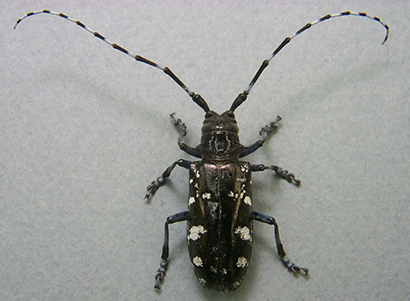Asian longhorn beetle ny quarantine zone